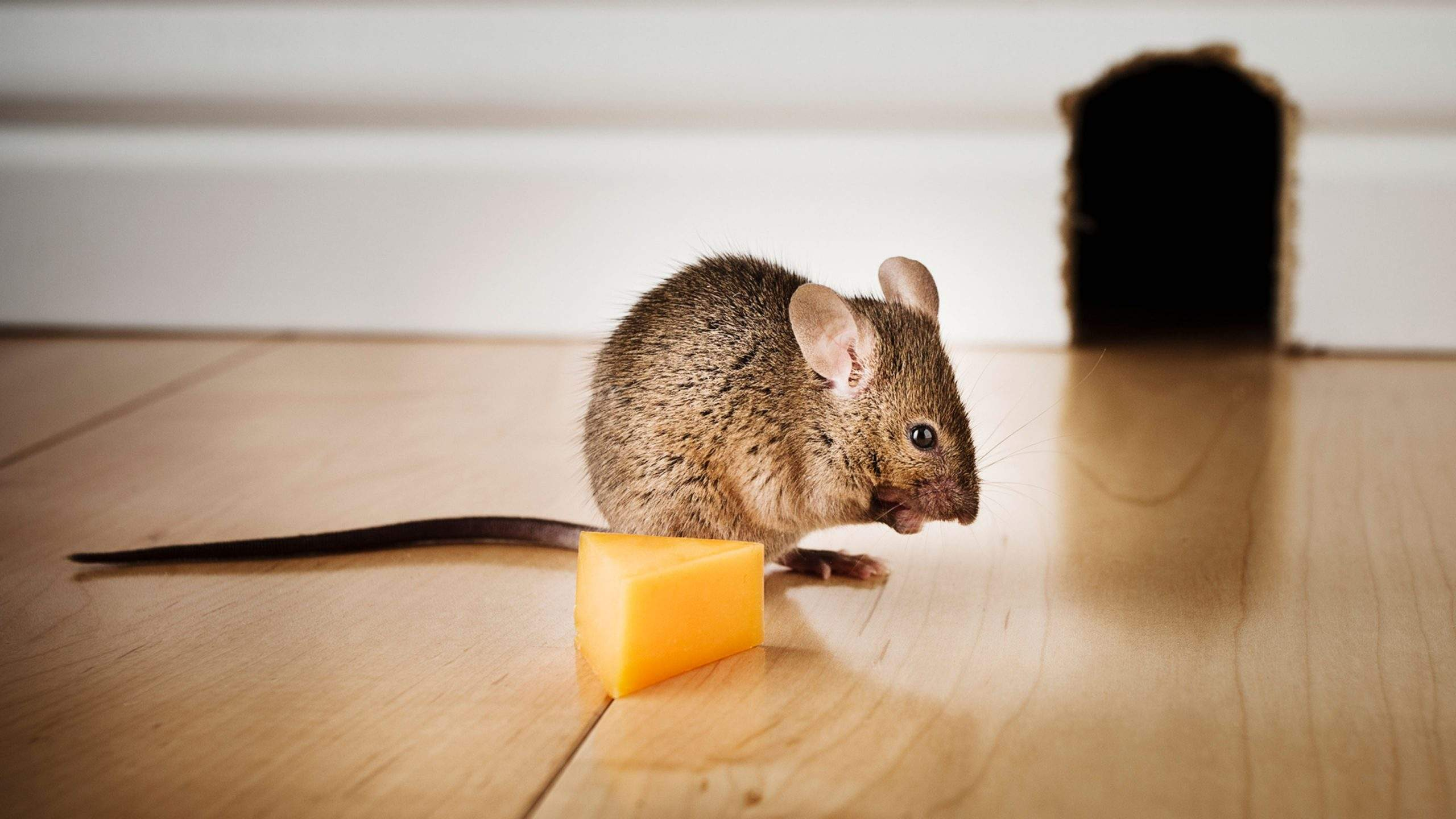 7 ways you can get rid of mice from your home